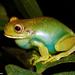 Aplastodiscus leucopygius - Photo (c) Mario Sacramento, algunos derechos reservados (CC BY-NC)