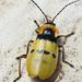 Chauliognathus missionum - Photo (c) Evandro, osa oikeuksista pidätetään (CC BY-NC)