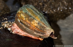 Image of Conus achatinus