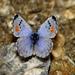 Mariposa Azul de Sonora - Photo (c) Bill Bouton, algunos derechos reservados (CC BY-NC-ND)
