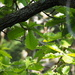 Daimyo Oak - Photo (c) harum.koh, some rights reserved (CC BY-SA), uploaded by harum.koh