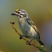 Yellow-fronted Tinkerbird - Photo (c) Ian White, some rights reserved (CC BY-NC-SA)