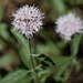 Mountain Coyote Mint - Photo (c) randomtruth, some rights reserved (CC BY-NC-SA)