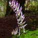 Corydalis scouleri - Photo (c) pfly, algunos derechos reservados (CC BY-SA)