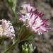Chaenactis douglasii - Photo (c) Matt Lavin,  זכויות יוצרים חלקיות (CC BY-SA)