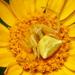 יפרוחית (סרטביש הפרחים ) - Photo (c) Lucarelli,  זכויות יוצרים חלקיות (CC BY-SA)