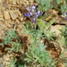 Miniature Lupine - Photo (c) Benjamin J. Dion, some rights reserved (CC BY-NC-SA)