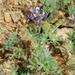 Lupinus bicolor - Photo (c) Benjamin J. Dion, algunos derechos reservados (CC BY-NC-SA)