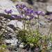 Sierra Penstemon - Photo (c) Ken-ichi Ueda, some rights reserved (CC BY)