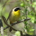 Common Yellowthroat - Photo (c) Charlotte Bill, some rights reserved (CC BY-NC)