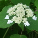 Wild Hydrangea - Photo (c) mfeaver, some rights reserved (CC BY)