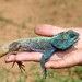 Uganda Blue-headed Tree Agama - Photo (c) Martin Grimm, some rights reserved (CC BY-NC-SA)