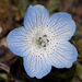 Nemophila menziesii menziesii - Photo (c) Bill Bouton, algunos derechos reservados (CC BY-NC-ND)