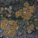Enterographa bella - Photo no hay derechos reservados