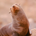 Eared Seals - Photo (c) Scott Buckel, some rights reserved (CC BY-NC)