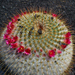 Cactoideae - Photo (c) H. Zell,  זכויות יוצרים חלקיות (CC BY-SA)