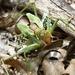Neobarrettia spinosa - Photo (c) bgv23, algunos derechos reservados (CC BY-NC)