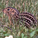 Thirteen-lined Ground Squirrel - Photo (c) Jerry Oldenettel, some rights reserved (CC BY-NC-SA)