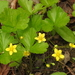 Geum fragarioides - Photo (c) Joanne Redwood, μερικά δικαιώματα διατηρούνται (CC BY-NC)