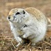 Richardson's Ground Squirrel - Photo (c) D. Sikes, some rights reserved (CC BY-SA)