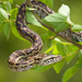 Southern African Python - Photo (c) greglasley, some rights reserved (CC BY-NC), uploaded by Greg Lasley