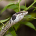 Twig Snake - Photo (c) greglasley, some rights reserved (CC BY-NC), uploaded by Greg Lasley