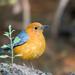 Zorzales, Azulejos, Mirlos Y Primaveras - Photo (c) Rushen, algunos derechos reservados (CC BY-NC)