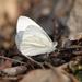 Pieris virginiensis - Photo (c) David Yeany,  זכויות יוצרים חלקיות (CC BY-NC)