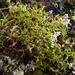 Cladia blanchonii - Photo Δεν διατηρούνται δικαιώματα