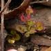 Drosera monticola - Photo (c) sea-kangaroo, osa oikeuksista pidätetään (CC BY-NC-ND), uploaded by sea-kangaroo