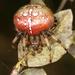 Araneus trifolium - Photo (c) Lynette Schimming, algunos derechos reservados (CC BY-NC)