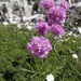 Alpine Thrift - Photo (c) Andrea Schieber, some rights reserved (CC BY-SA)