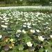 Ranunculus aquatilis - Photo (c) Jakob Fahr, algunos derechos reservados (CC BY-NC)