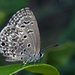 Chilades lajus - Photo (c) Vijay Anand Ismavel,  זכויות יוצרים חלקיות (CC BY-NC-SA), uploaded by Dr. Vijay Anand Ismavel MS MCh
