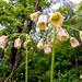 Allium siculum dioscoridis - Photo (c) katunchik, algunos derechos reservados (CC BY)
