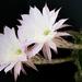 Echinopsis oxygona - Photo (c) Roberto Fontana, alguns direitos reservados (CC BY-NC)