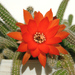 Peanut Cactus - Photo (c) xulescu_g, some rights reserved (CC BY-SA)