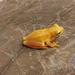 Rana de Árbol Mexicana Enana - Photo (c) 2010 Sean Michael Rovito, algunos derechos reservados (CC BY-NC-SA)