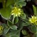 Sibbaldia procumbens - Photo (c) Denali National Park and Preserve, algunos derechos reservados (CC BY)