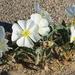 Oenothera deltoides deltoides - Photo (c) Fred Melgert / Carla Hoegen, algunos derechos reservados (CC BY-NC)