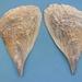 Pinnidae - Photo (c) Veronidae,  זכויות יוצרים חלקיות (CC BY-SA)