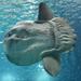 Mola - Photo (c) Grantuking, μερικά δικαιώματα διατηρούνται (CC BY-NC)