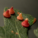 Red Cone Gall Wasp - Photo (c) Jill Matsuyama, some rights reserved (CC BY-NC-SA)