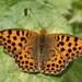 Issoria lathonia - Photo (c) Dean Morley, μερικά δικαιώματα διατηρούνται (CC BY-ND)