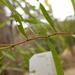 Acacia leprosa graveolens - Photo (c) Wayne Martin, some rights reserved (CC BY-NC)