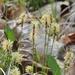 Carex pensylvanica - Photo (c) Matt Flower, osa oikeuksista pidätetään (CC BY-NC)