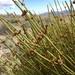 Ephedra viridis - Photo (c) Alyssa Russell, alguns direitos reservados (CC BY-NC)