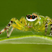 White-spotted Green Jumping Spider - Photo (c) caesar, some rights reserved (CC BY-NC), uploaded by Dr Caesar Sengupta