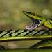 Colubridae - Photo (c) caesar, μερικά δικαιώματα διατηρούνται (CC BY-NC), uploaded by Dr Caesar Sengupta