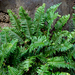 Brown's Sword Fern - Photo no rights reserved